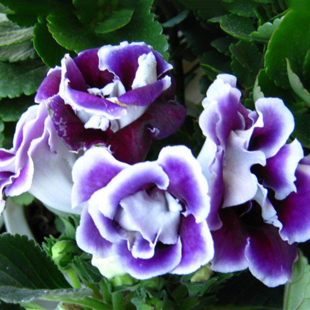 lamta1k 100Pcs Saintpaulia Ionantha La Calidad de la semilla Violeta Africana y la Alta tasa de Supervivencia Crecen r/¨/¢pidamente Crecen r/¨/¢pidamente Flor de Jard/¨/ªn de Flor Hermosa Azul