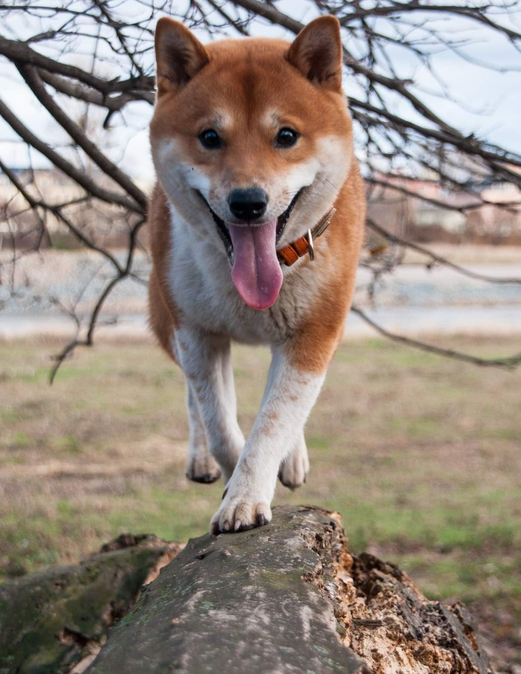 Buy Notebook: Shiba Inu dog branch frontal shiba inu pet puppy puppies dogs  breed training toys bed collar Book Online at Low Prices in India |  Notebook: Shiba Inu dog branch frontal