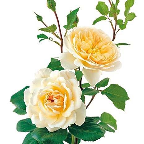 517208b174f15 Amazon.com : David Austin English Roses Crocus Rose : Garden & Outdoor