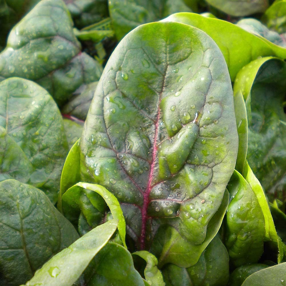 Baby Leaf Spinach Red Kitten 500 Seeds Amazon Co Uk Garden Outdoors