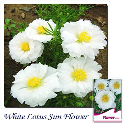 Solution Seeds Farm New Rare 200 Seed White Portulaca Grandiflora Sun Plant Flower : Garden & Outdoor