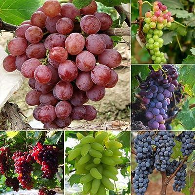 wpOP59NE 50Pcs Mixed Grapes Seeds Delicious Fresh Fruit Garden Tree Plants Decoration Plant Seeds : Garden & Outdoor