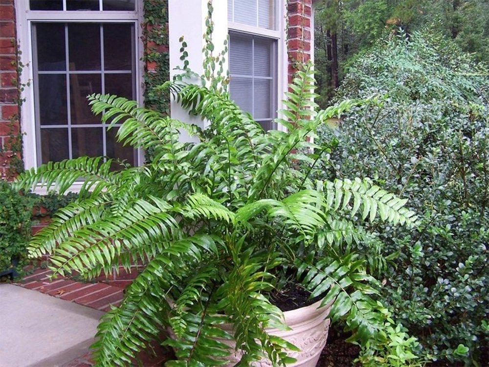AMERICAN PLANT EXCHANGE Macho''Giant Sword'' Fern 1 Gallon Live Plant, 6'' Pot, Indoor/Outdoor Air Purifier! by AMERICAN PLANT EXCHANGE (Image #2)