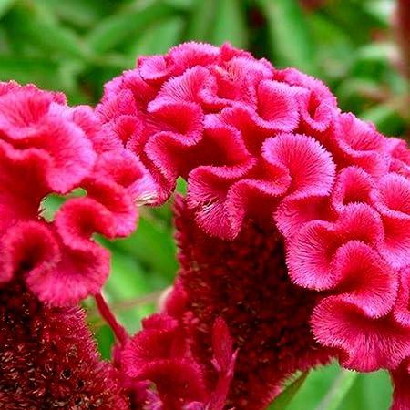 Quanjucheer - 100 piezas de celosia crestado, semillas de panal, decoración para el hogar, jardín, patio, planta, decoración de bonsái: Amazon.es: Jardín