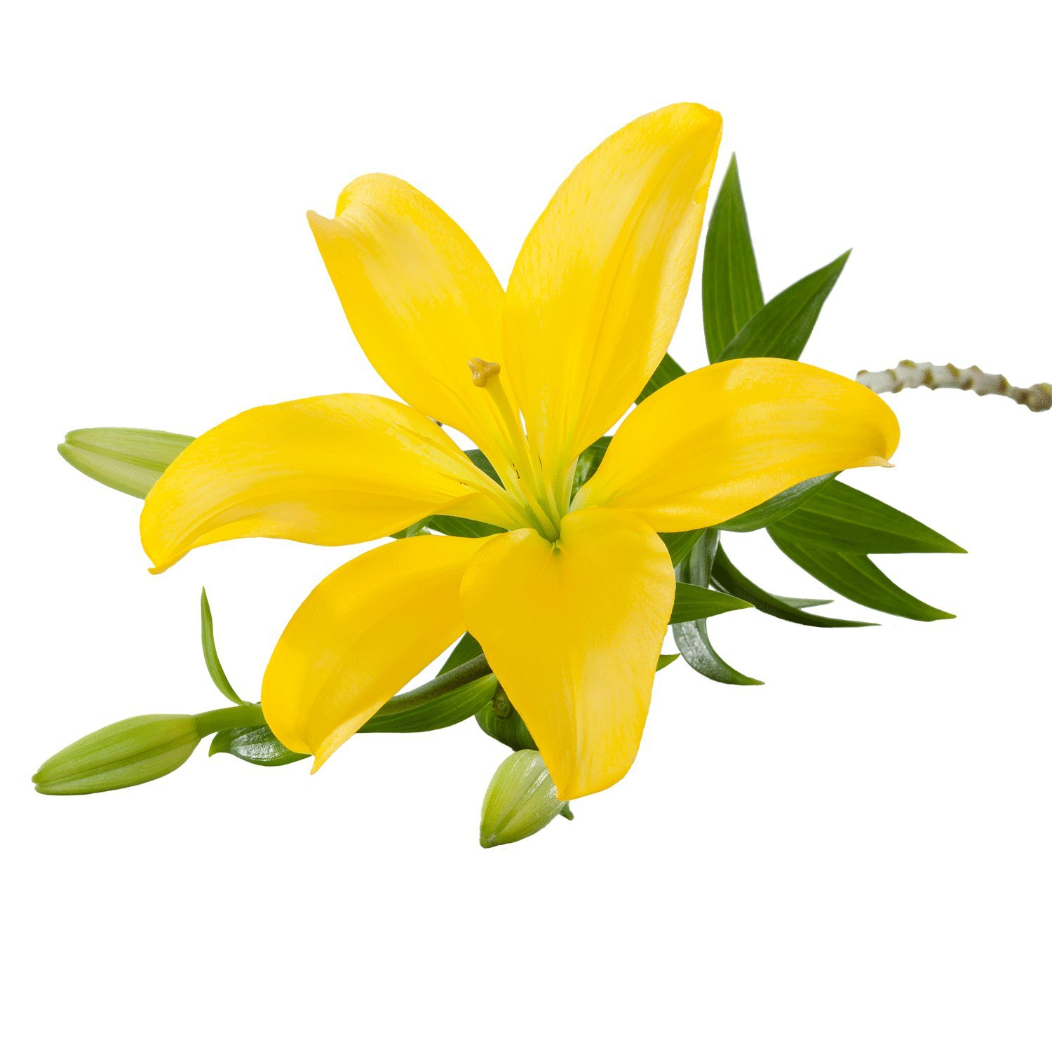 Asiatic Lilies | Yellow - 20 Stem Count by Flower Farm Shop