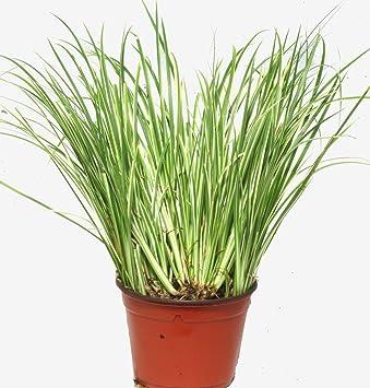 Gräser Immergrün acorus gramineus variegatus kalmusgras gras winterhart immergrün