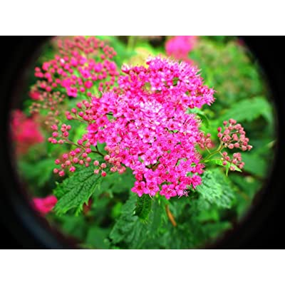Crispa Spirea - Live Plant - Shipped in Gallon Pots (No California) : Shrub Plants : Garden & Outdoor