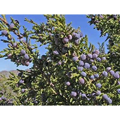 20 Cherrystone Juniper Juniperus Monosperma Tree Seeds for Planting WL #RR12 : Garden & Outdoor