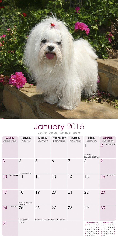 Maltese Calendar - Only Dog Breed Maltese Calendar - 2016 Wall calendars - Dog Calendars - Monthly Wall Calendar by Avonside by AVONSIDE (Image #1)