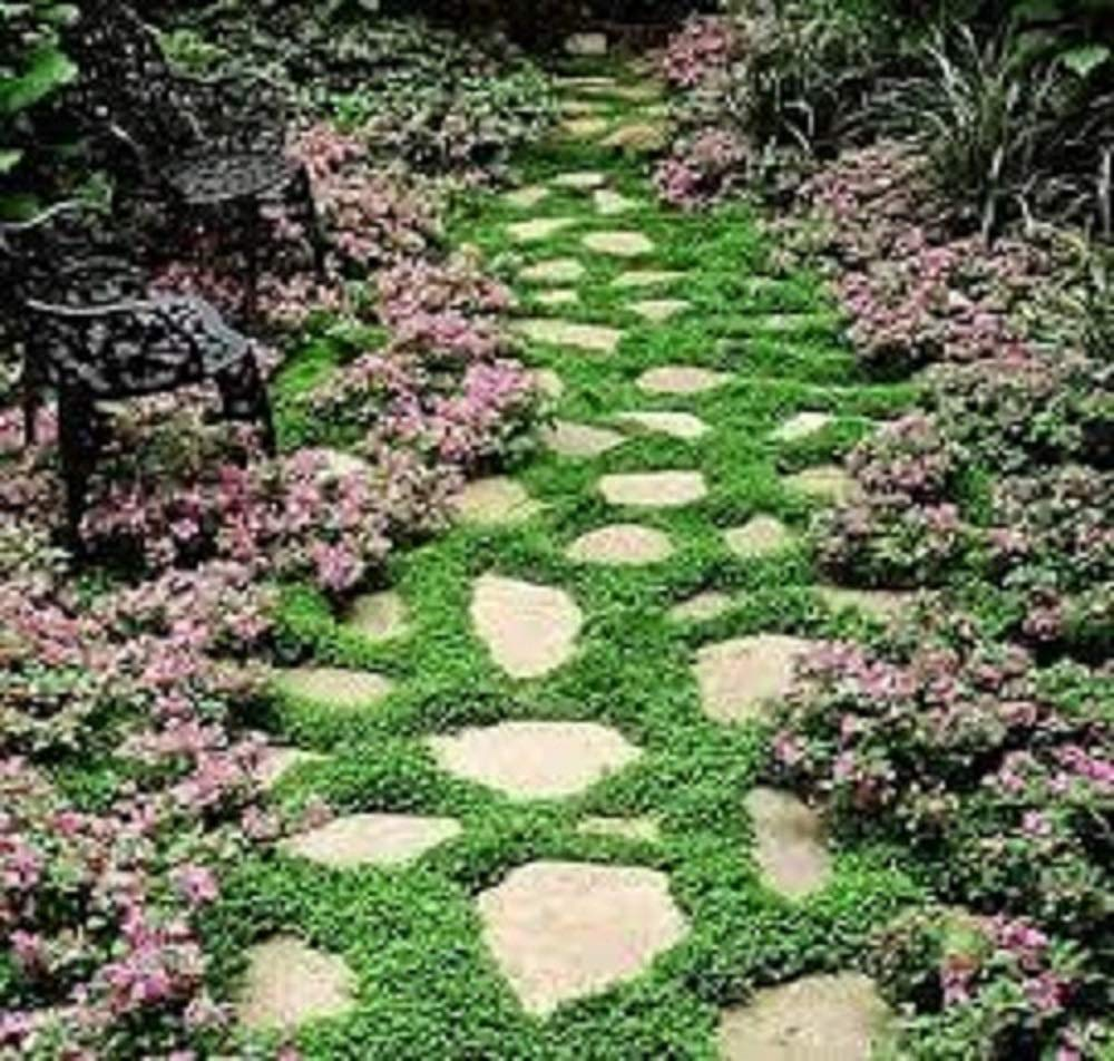 Dichondra Repens No Mow Lawn Soft, Intensive Lawn Grass seed 50g Pretty Wild Seeds