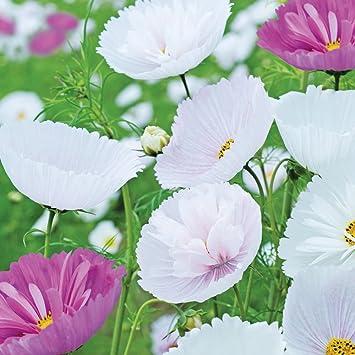 30 VERONICA BLUE STREAK  PERENNIAL FLOWER SEEDS  GREAT CUT FLOWER