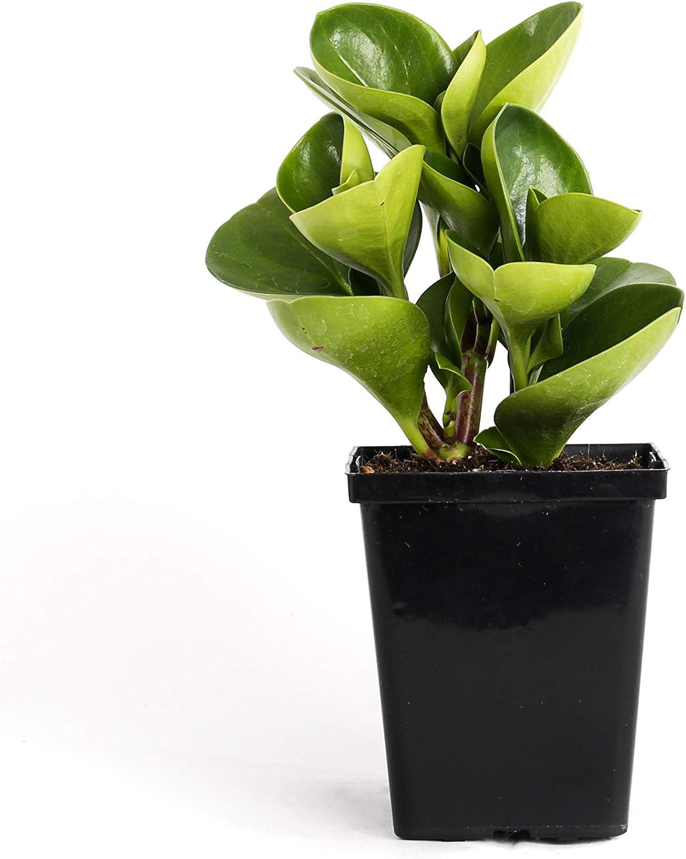 Amazon Com Plants By Post Peperomia Obtusifolia Green Quart Baby