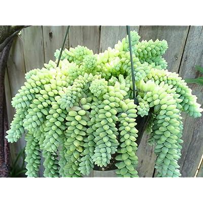 "Houseplant - Sedum Morganianum 'Burrito ' Succulent 2 Rooted Cuttings 2-6"" Each - tkbel : Garden & Outdoor"