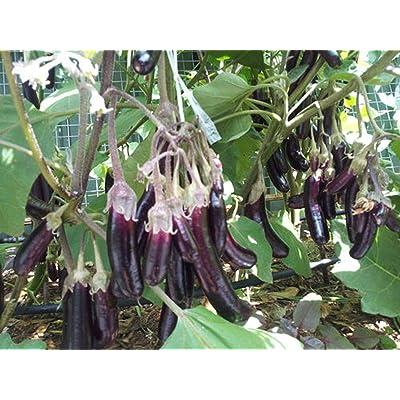 Little Fingers Eggplant Seeds (20 Seed Pack) : Garden & Outdoor