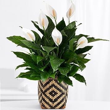 Amazon.com : ProFlowers - 1 Count White Peace Lily - Floor Plant ...