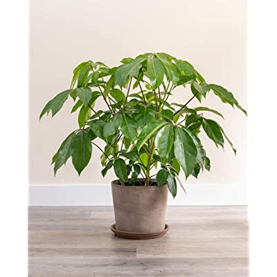 PlantVine Schefflera actinophylla 'Amate', Umbrella Tree - Large - 8-10 Inch Pot (3 Gallon), Live Indoor Plant : Garden & Outdoor