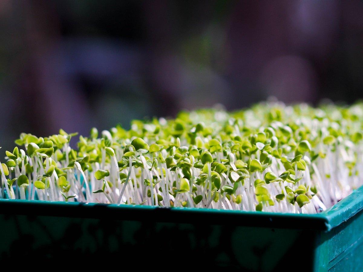 Semillas de germinación - rábano negro - 850 semillas: Amazon.es ...