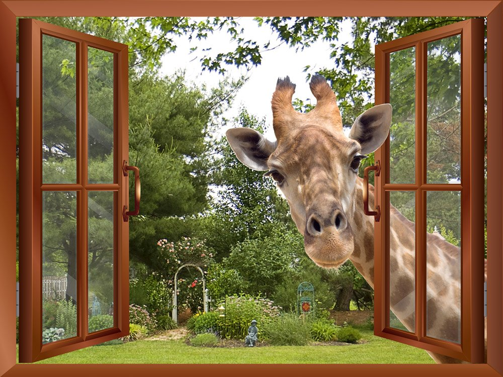 wall26 A Curious Giraffe Sticking its head into an Open Window Removable Wall Sticker/Wall Mural - 36''x48''