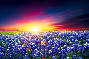 Spring Sunrise Bluebonnets Texas Hill Country Photo Photograph Cool Wall Decor Art Print Poster 36x24