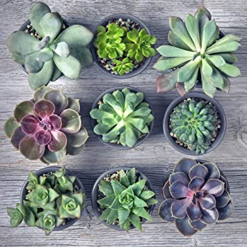 Indoor Succulents Crassula Plants Mixed Potted House Plants Exotic