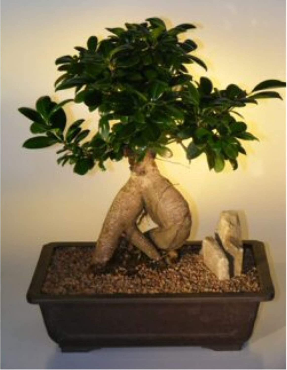 Amazon Com Ginseng Ficus Bonsai Tree Extra Large Ficus Retusa Garden Outdoor