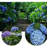 CANHOT Garden - 100 pcs Mixed Nikko Blue Hydrangea Seeds, Fast Growing Shrub, Giant Snowball Hydrangea Seeds, Garden Hydrange