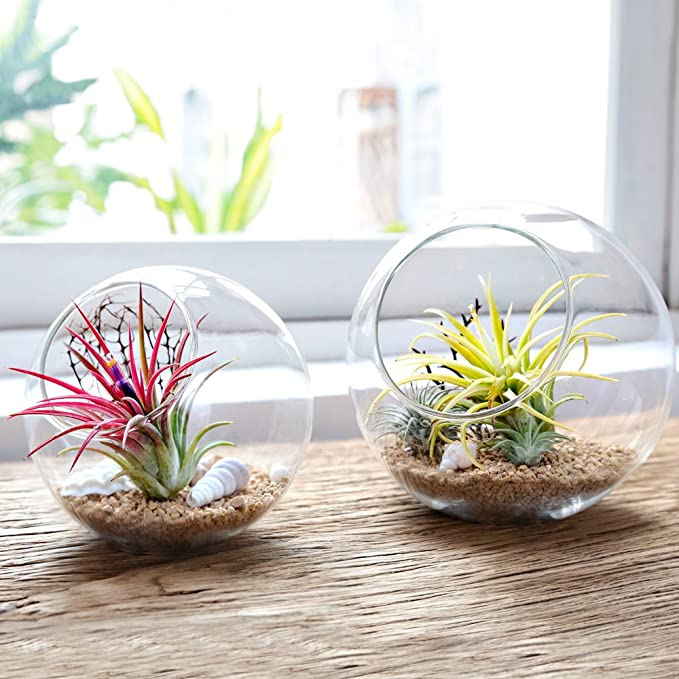 Mkouo Terrario de sobremesa de cristal, tipo globo, ideal para velas o plantas aéreas y suculentas, tamaño S, Brown/Clear, S: Amazon.es: Jardín