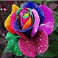 Planta Flor Vegetal Fruto Árbol Semillas 100pcs/Bag Rainbow Rose Semillas No OGM Aromáticas Anual Jardinería Casa Plántulas para Balcón - Semilla de Rosa