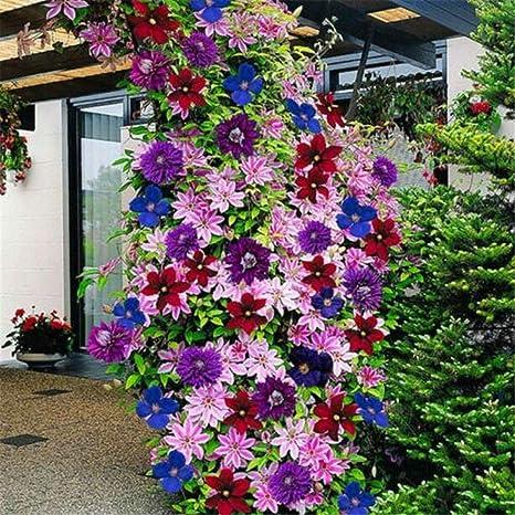 24 Colors Mixed Clematis Climbing Plant Seeds Flower Home Garden Decor*50pcs