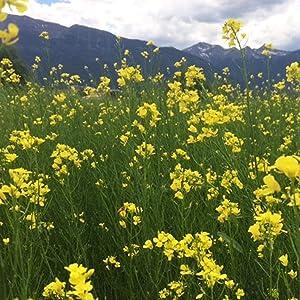 Kodiak Mustard Seeds by Mighty Mustard - 4 Oz - Non-GMO, Open Pollinated Farm & Garden Cover Crop Seeds