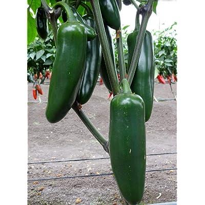 Jedi (F1) Hybrid Giant Jalapeno Pepper Seeds (25 Seeds) : Garden & Outdoor