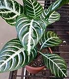 "Snow White Zebra Plant - Aphelandra - Exotic & Unusual House Plant - 4"" Pot"