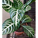 "Snow White Zebra Plant - Aphelandra - Exotic & Unusual House Plant - 4"" Pot"