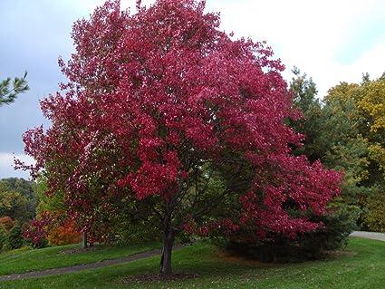 82708458b02 Amazon.com   Dormant Bare Root of Red Oak Tree Quercus rubra ...