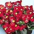 Begonia- Red- 50 Seeds