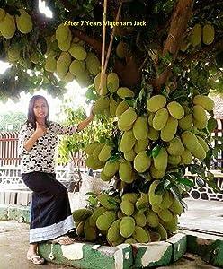 LIVE Jack Fruit Tree Rare - Tropical 1 Healthy Plant -  Dwarf Jackfruit  Early Fruit Bearing Variety Bud Plant