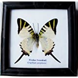 INSECTFARM Framed Real Beautiful Fivebar Swordtail Butterfly Collection Gift Display Insect Taxidermy