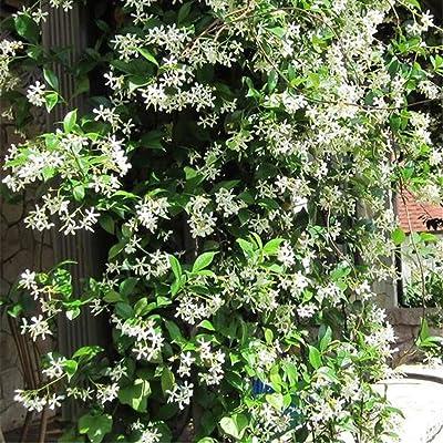50pcs Rare Climbing Plants Jasmine Seeds Bonsai Amazing Smell & Beautiful Flowers Seeds Perennial Plant Decorated Home Garden : Garden & Outdoor