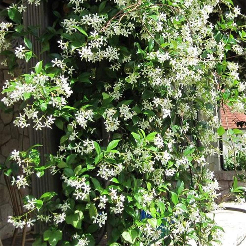 20PCS Rare climbing plants Jasmine seeds amazing smell /& beautiful flowers