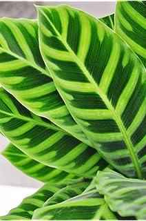 Generic Alocasia odora Variegata 3 Tall 1 Starter Pflanzen Schiff in ONE 3 Pot