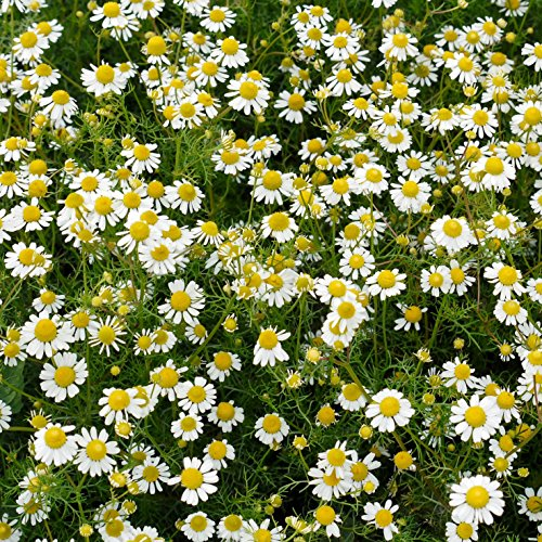 Outsidepride Roman Chamomile Herb Plant Seeds - 25000 Seeds (Chamomile Seed Roman)