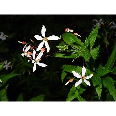 Gillenia stipulata American Ipecac Indian Physic 30 Seeds Rare Native Perennia : Garden & Outdoor