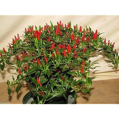 Small Thai Chili Hot Pepper Seeds (25 Seeds) : Garden & Outdoor