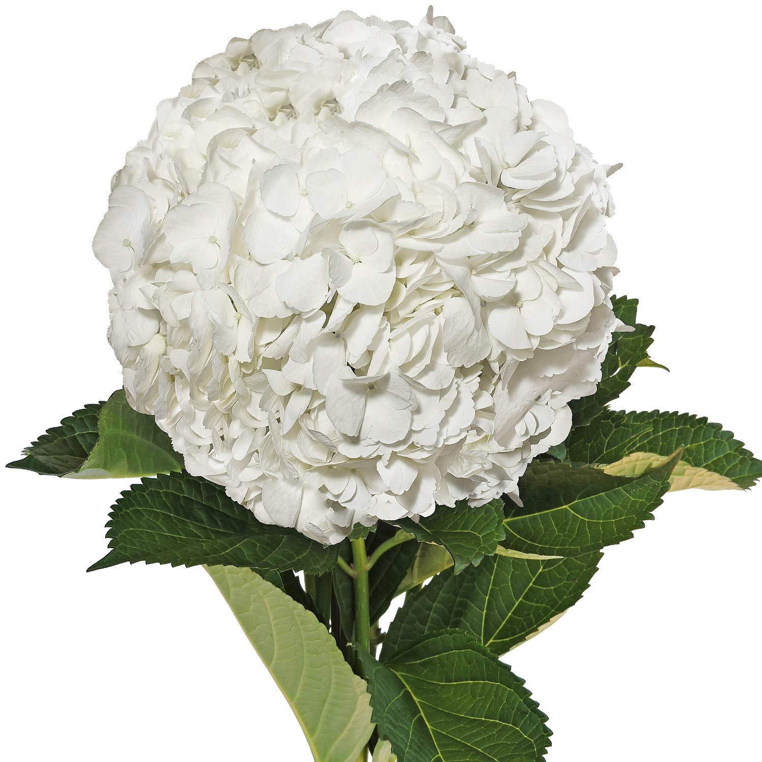Farm Fresh Natural White Hydrangeas - Pack 15 by Bloomingmore