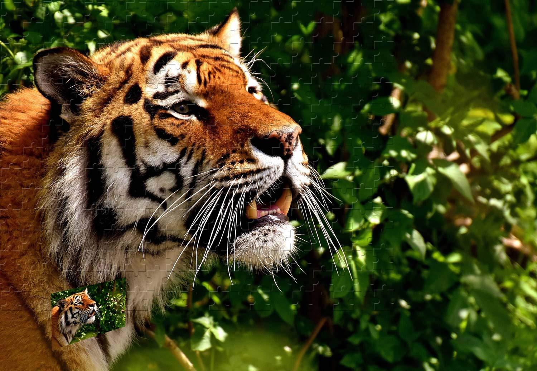 リアル PigBangbang -、34.4 X 22.6インチ、バスウッド製 - タイガーフェイスの歯 PigBangbang、34.4 ビッグキャット - - 1500ピースジグソーパズル B07HY9QMCY, アイカワマチ:c19774a0 --- sinefi.org.br