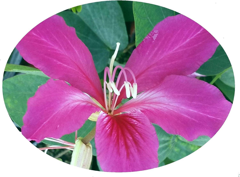HONG KONG ORCHID Tree Plant Bauhinia Preferred Seedless Hybrid Purple Bloom