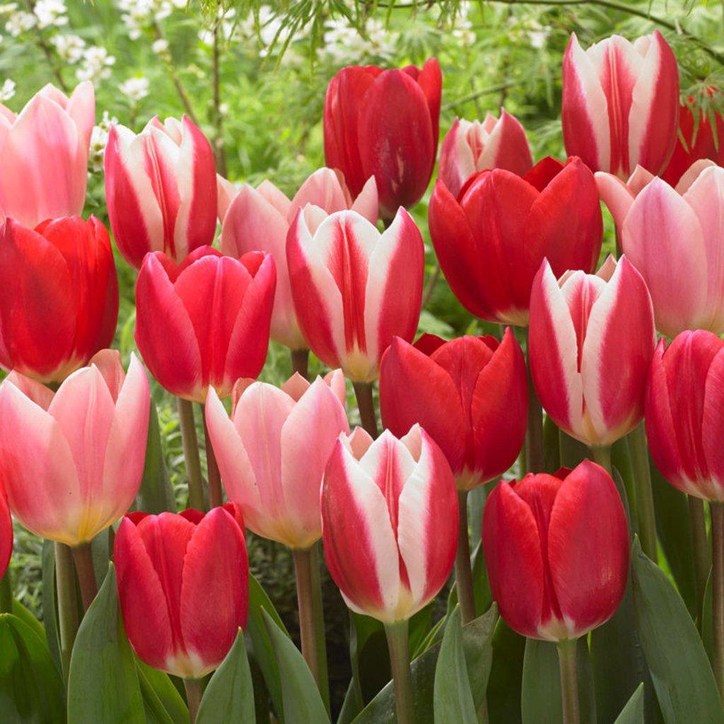 Van Zyverden Tulips Candy Striper Blend Set of 15 Bulbs