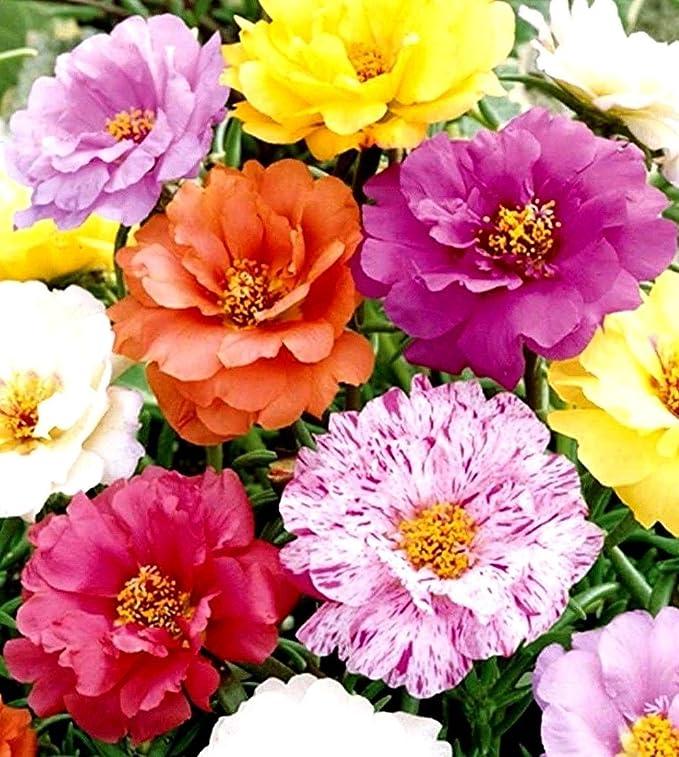 100 Double Orange Moss Rose Seeds Flower Perennial Flowers Seed 142 US SELLER