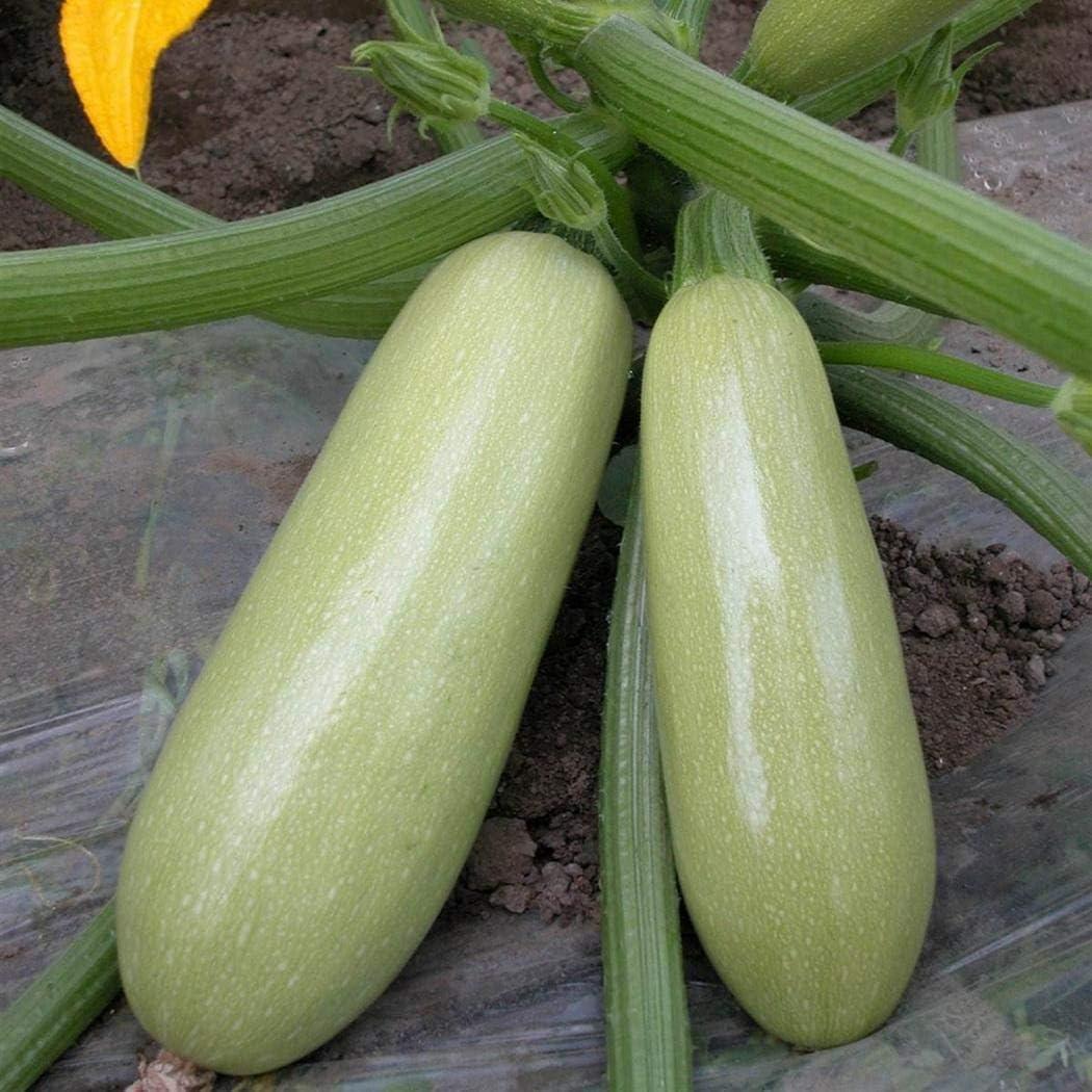 10PCS  Zucchini Seeds Vegetable Squash Decor Plant House Garden Color Green