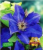 dominik blumen und pflanzen blauregen wisteria sinensis veredelt 1 pflanze ca 30 cm hoch. Black Bedroom Furniture Sets. Home Design Ideas